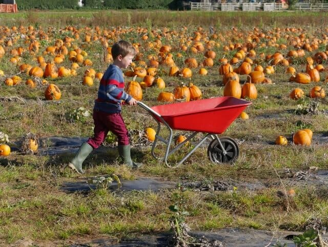 wheeling pumpkins at Millets farm